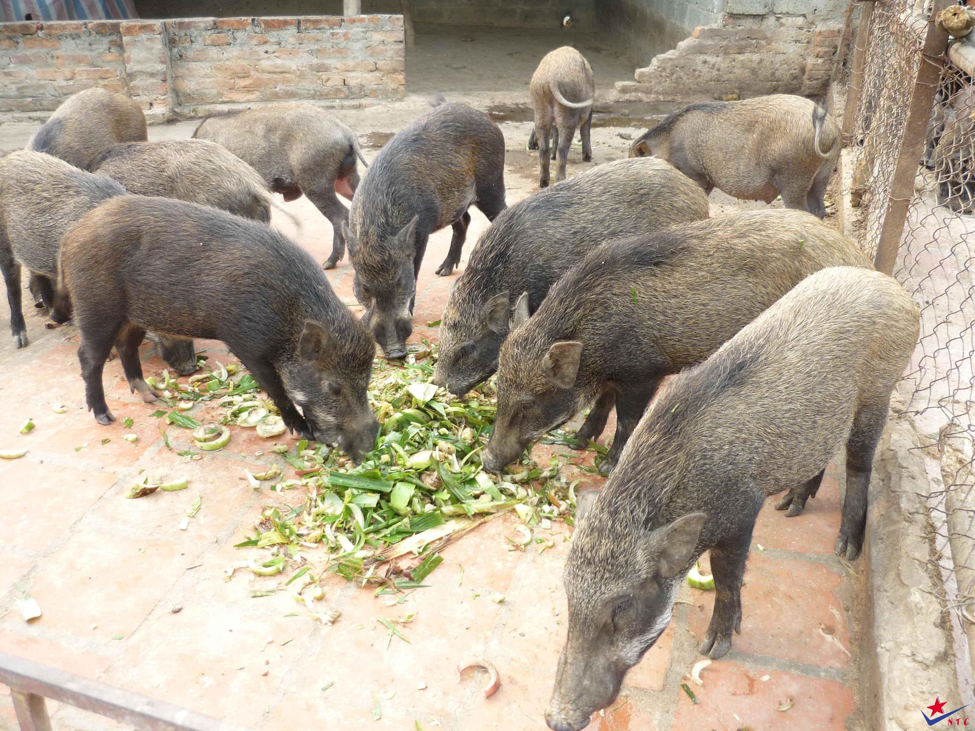 lợn rừng thịt